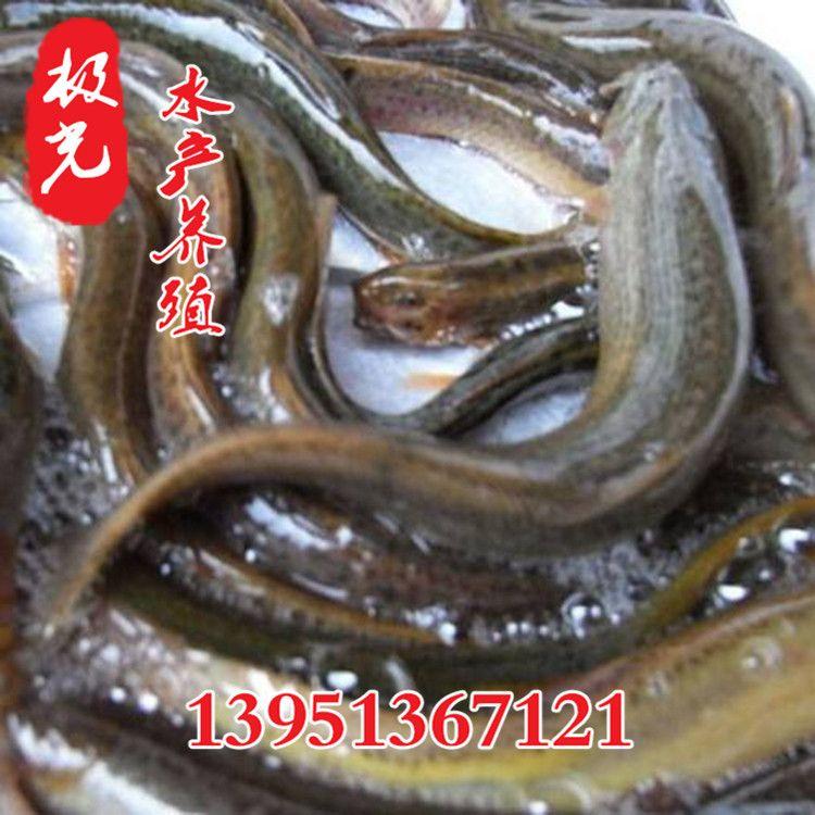 泥鳅苗批发水产养殖小泥鳅苗价格 泥鳅种苗价格 泥鳅种苗价格