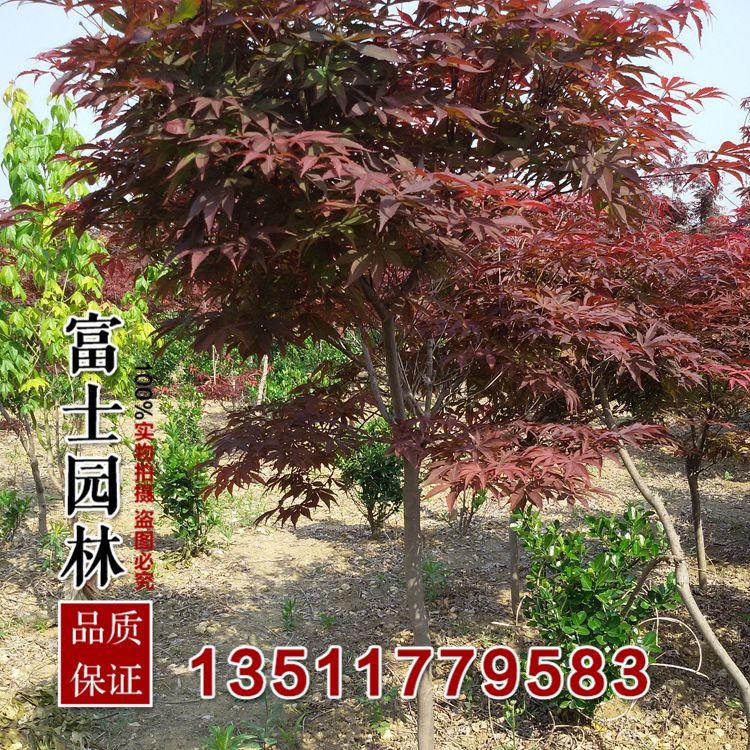 园林批发优质 日本三季红红枫1米 树苗嫁接苗绿化苗木景观红枫