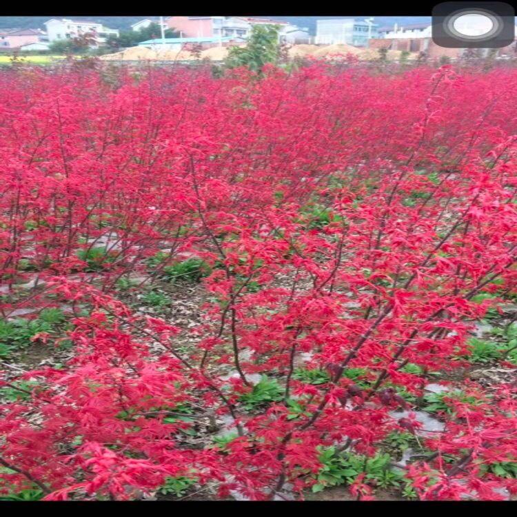 日本红枫小苗红舞姬-批发高度为60-120cm 日本红枫价格