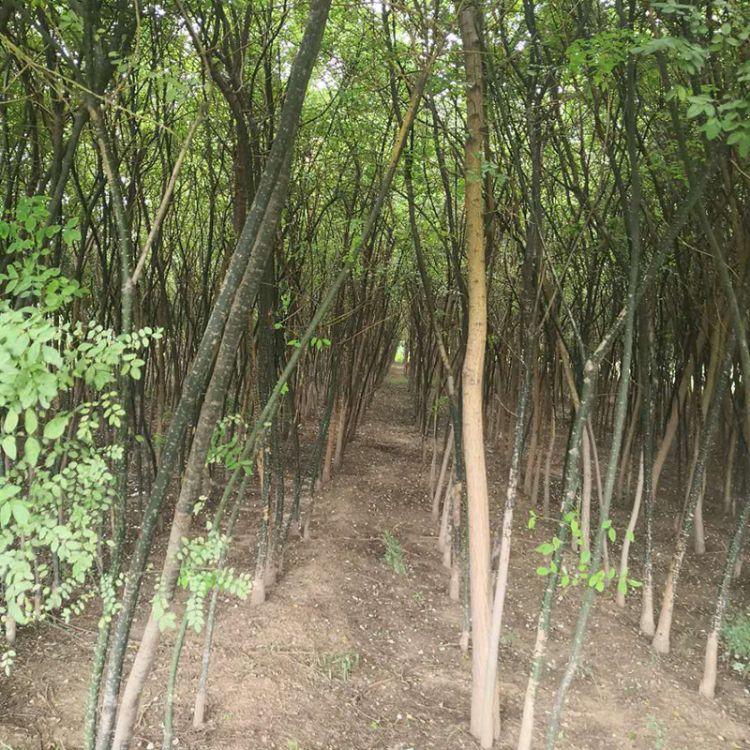绿化苗木基地长期批发绿苗苗 边道公园绿化用国槐树苗 国槐苗