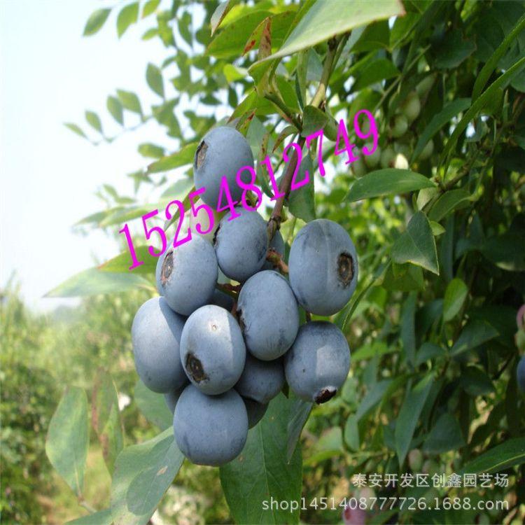 苗木基地供应北陆蓝莓苗 优质蓝莓苗 包成活