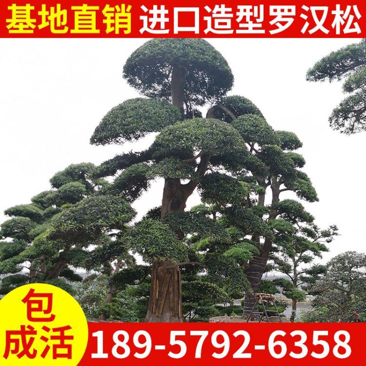 大罗汉松园林工程绿化树 造型罗汉松  造型大罗汉松批发