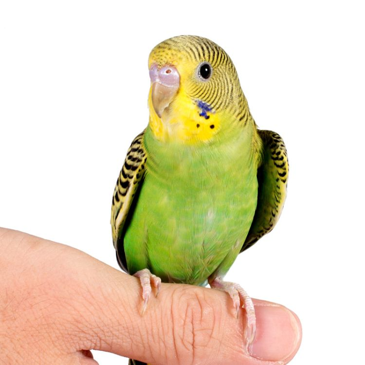 活体宠物观赏鸟手养鸟幼鸟小鸟活体活鸟活体小型宠物活体鸟说话鸟