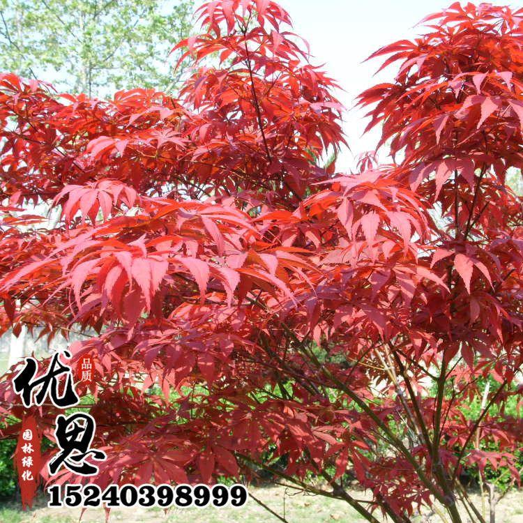 基地批发销售红枫树苗 供应优质红枫小苗园林绿化苗木量大从优