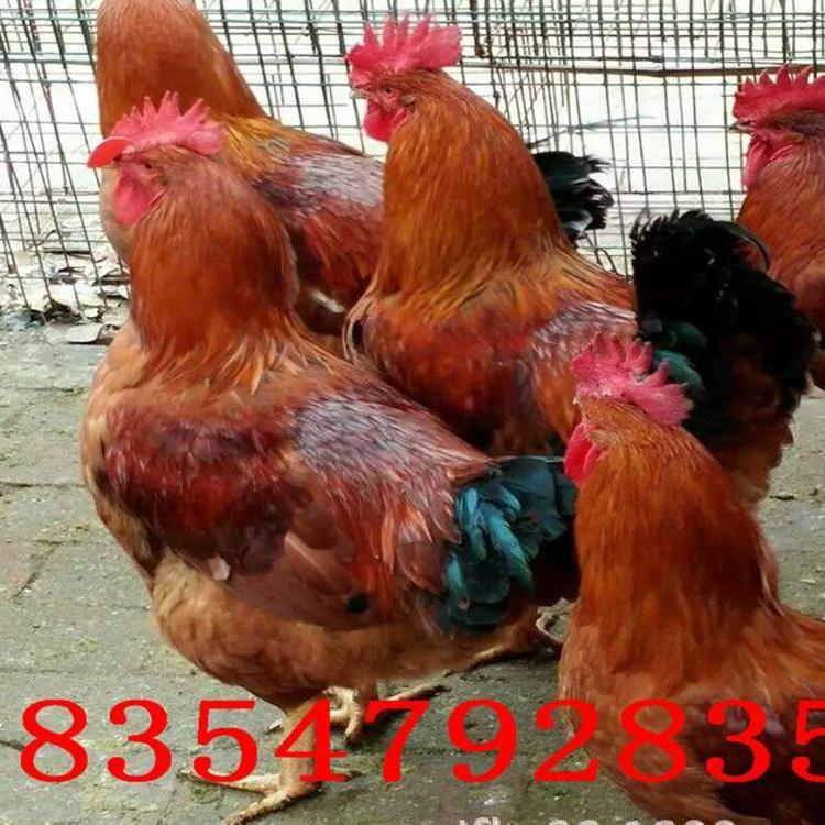 红玉鸡受精蛋批发红玉鸡380鸡苗种蛋价格哪里卖红玉公鸡受精蛋