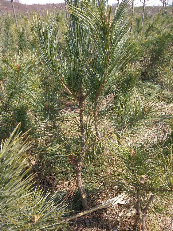 黑松树 2米黑松、2.5米黑松、3米造型黑松树批发基地