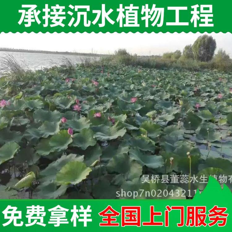 栽植水生植物种苗 水体净化植物苗批发 承接沉水植物种植工程