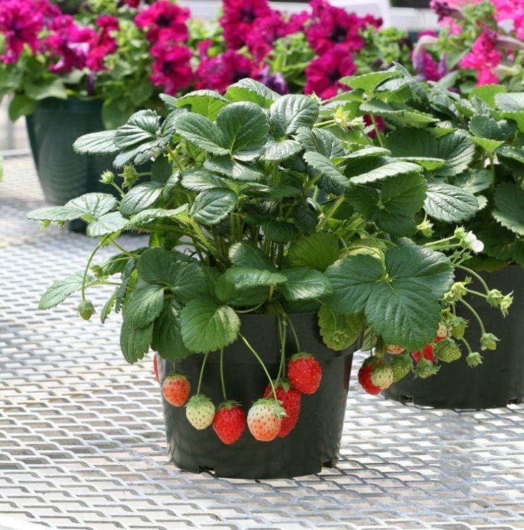 草莓苗 四季草莓 攀援草莓苗 阳台爬藤草莓苗盆栽当年结果草莓苗