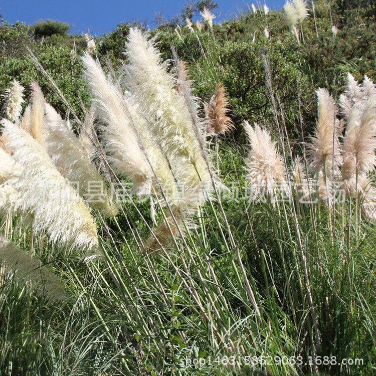 基地育苗水生植物芦苇苗批发 水生芦苇 水体绿化 水生植物 绿化苗