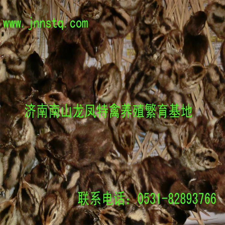 七彩山鸡苗,野鸡苗,鸡苗,七彩野鸡苗苗,特种养殖