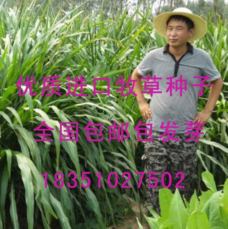 黑麦草种子多年生牧草南方北方牛羊鱼草籽紫花苜蓿菊苣紫云英种子