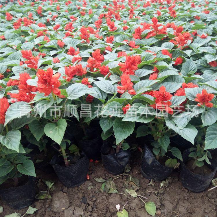 一串红 矮串红批发景观园林时令草花 青州苗圃直供