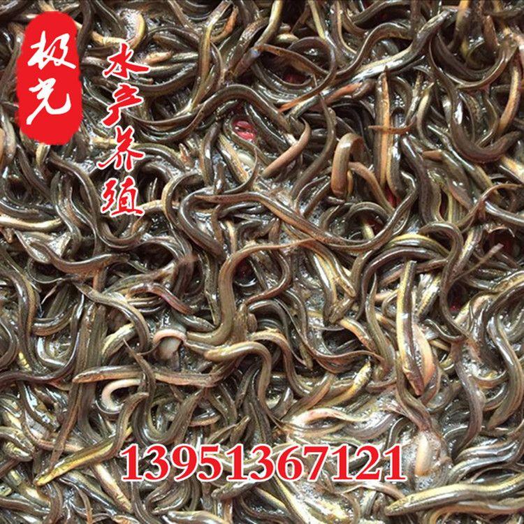 泥鳅苗批发水产养殖泥鳅价格 泥鳅种苗价格 泥鳅种苗 鲜活水产品