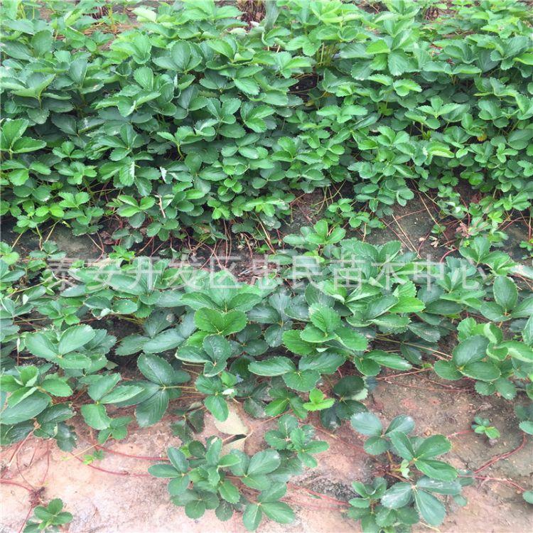 法兰地草莓苗、章姬草莓苗、甜查理草莓苗、红颜草莓苗、现挖现买