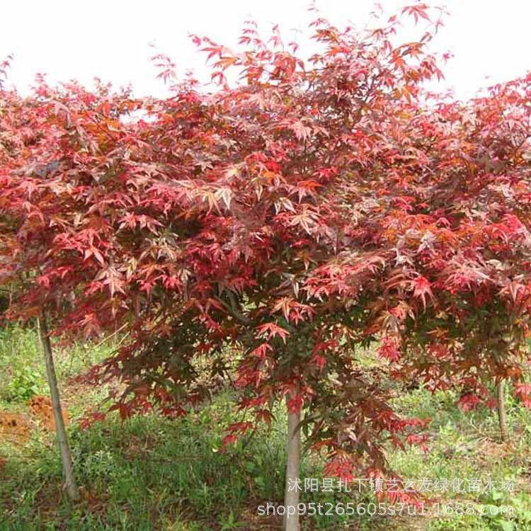 批发精品日本红枫树苗 三季红枫苗 工程绿化苗木 行道风景树