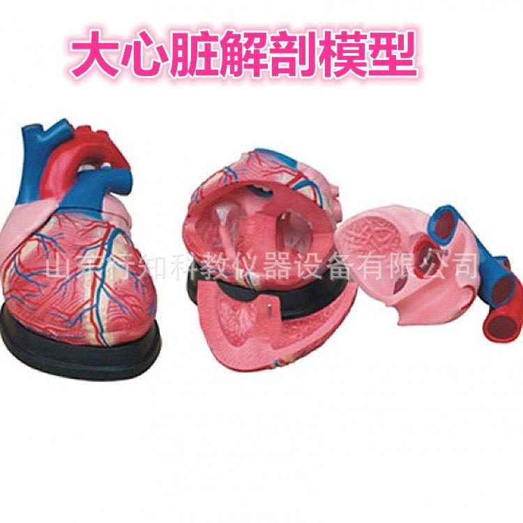 大心脏解剖模型人体医学教学模型医学教学模型4倍放大模型