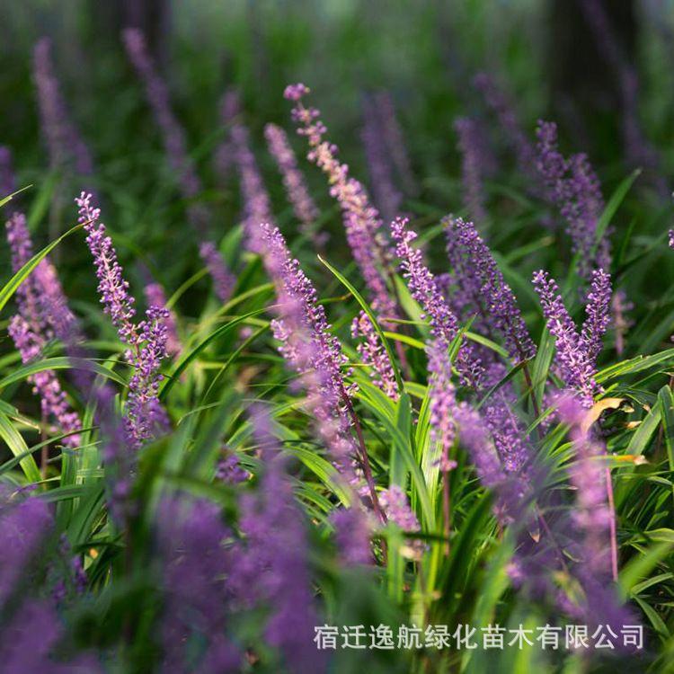 苗圃批发麦冬草种子 动物饲料高营养牧草种子 优质高产 量大优惠