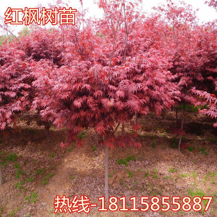 红枫树苗 日本红枫中国四季红枫庭院工程绿化红舞姬盆栽地栽风景