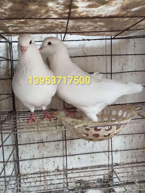 供应纯种白羽王鸽,白羽王种鸽,白羽王鸽种鸽价格
