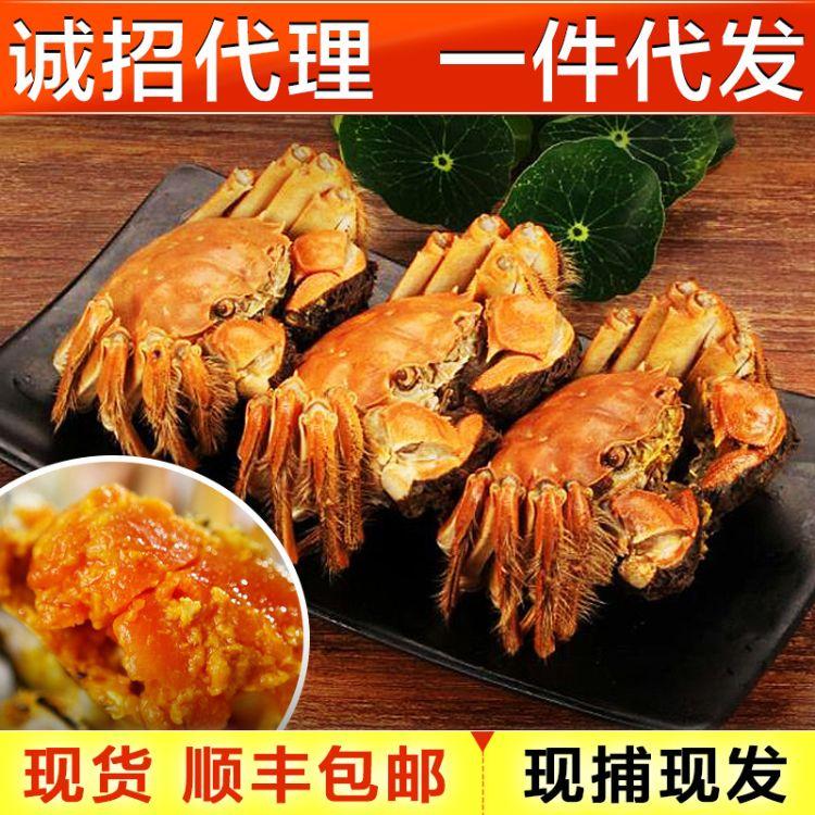 新鲜现抓大闸蟹公母螃蟹1.5-2.3两12只装顺丰包邮 招代理一件代发