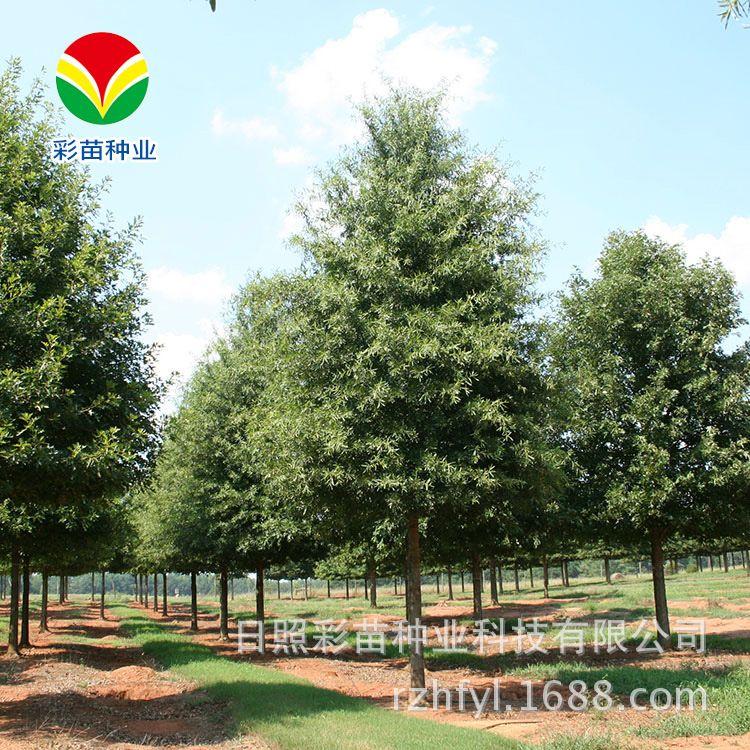 厂家直供 柳叶栎正宗栎树苗木 彩叶苗木绿化苗木 成本低【图】