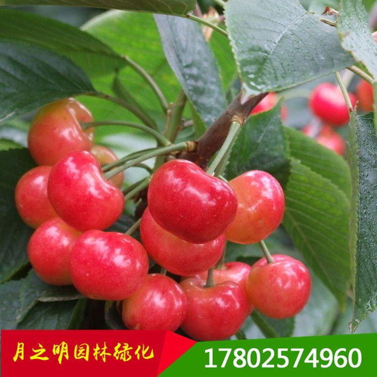 苗圃直销樱桃苗 供应优质樱桃小苗  果树苗 量大从优